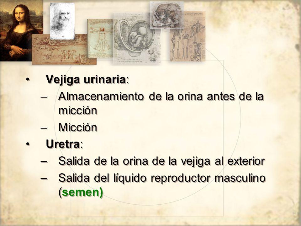 Vejiga urinaria: –Almacenamiento de la orina antes de la micción –Micción Uretra: –Salida de la orina de la vejiga al exterior –Salida del líquido reproductor masculino (semen) Vejiga urinaria: –Almacenamiento de la orina antes de la micción –Micción Uretra: –Salida de la orina de la vejiga al exterior –Salida del líquido reproductor masculino (semen)