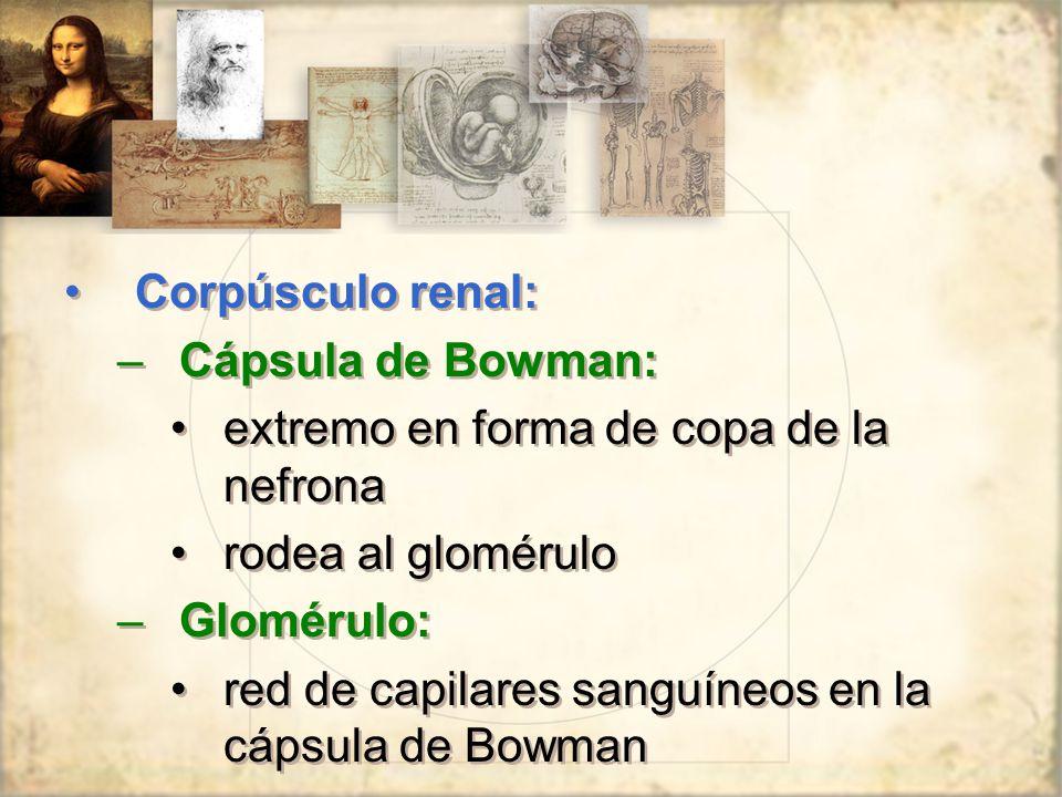 Corpúsculo renal: –Cápsula de Bowman: extremo en forma de copa de la nefrona rodea al glomérulo –Glomérulo: red de capilares sanguíneos en la cápsula de Bowman Corpúsculo renal: –Cápsula de Bowman: extremo en forma de copa de la nefrona rodea al glomérulo –Glomérulo: red de capilares sanguíneos en la cápsula de Bowman