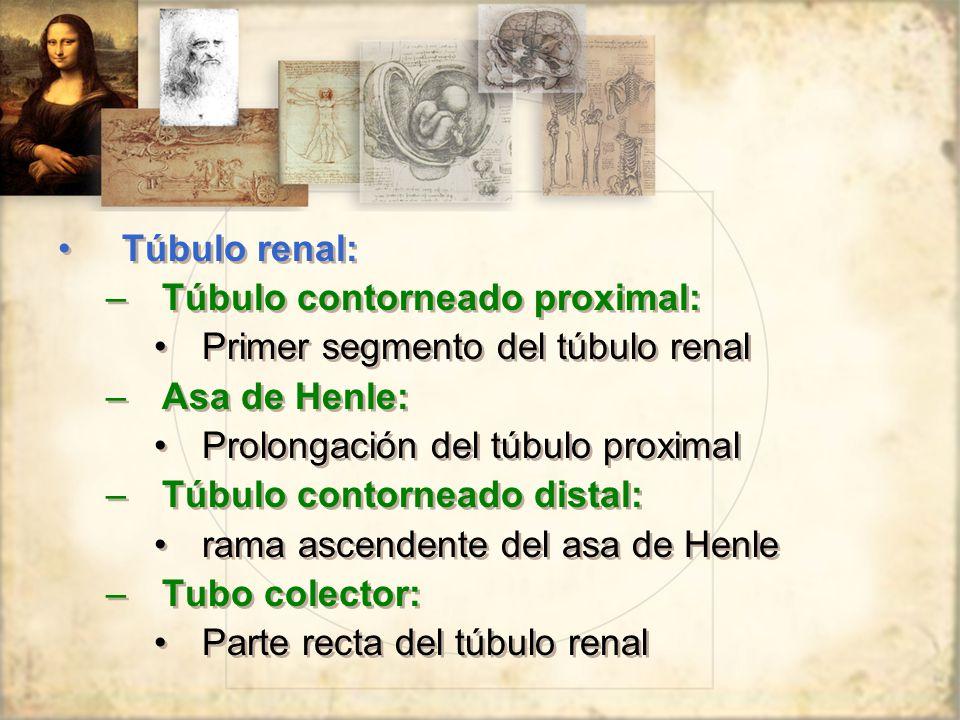 Túbulo renal: –Túbulo contorneado proximal: Primer segmento del túbulo renal –Asa de Henle: Prolongación del túbulo proximal –Túbulo contorneado distal: rama ascendente del asa de Henle –Tubo colector: Parte recta del túbulo renal Túbulo renal: –Túbulo contorneado proximal: Primer segmento del túbulo renal –Asa de Henle: Prolongación del túbulo proximal –Túbulo contorneado distal: rama ascendente del asa de Henle –Tubo colector: Parte recta del túbulo renal