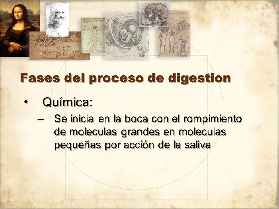 Fases del proceso de digestion Química: –Se inicia en la boca con el rompimiento de moleculas grandes en moleculas pequeñas por acción de la saliva Química: –Se inicia en la boca con el rompimiento de moleculas grandes en moleculas pequeñas por acción de la saliva