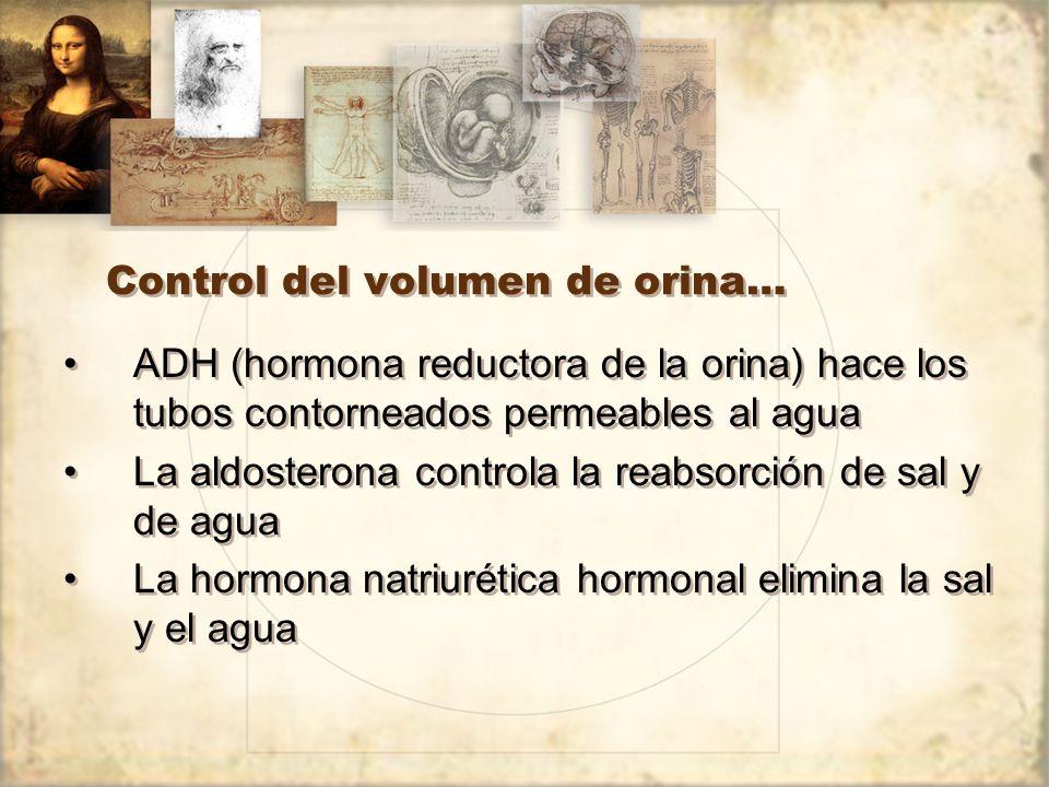 Control del volumen de orina… ADH (hormona reductora de la orina) hace los tubos contorneados permeables al agua La aldosterona controla la reabsorción de sal y de agua La hormona natriurética hormonal elimina la sal y el agua ADH (hormona reductora de la orina) hace los tubos contorneados permeables al agua La aldosterona controla la reabsorción de sal y de agua La hormona natriurética hormonal elimina la sal y el agua
