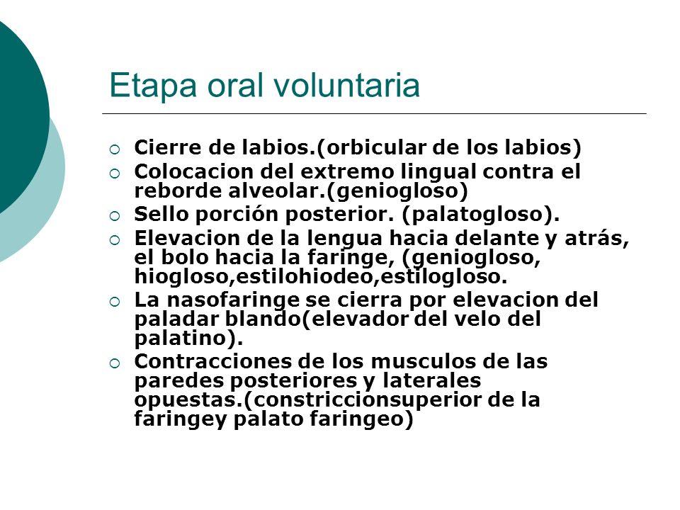 Etapa oral voluntaria Cierre de labios.(orbicular de los labios) Colocacion del extremo lingual contra el reborde alveolar.(geniogloso) Sello porción