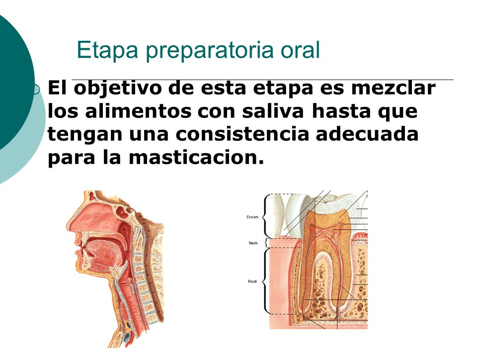 Etapa preparatoria oral El objetivo de esta etapa es mezclar los alimentos con saliva hasta que tengan una consistencia adecuada para la masticacion.