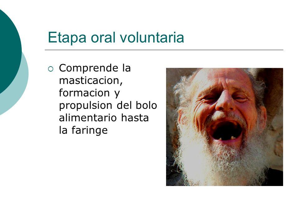 Etapa oral voluntaria Comprende la masticacion, formacion y propulsion del bolo alimentario hasta la faringe