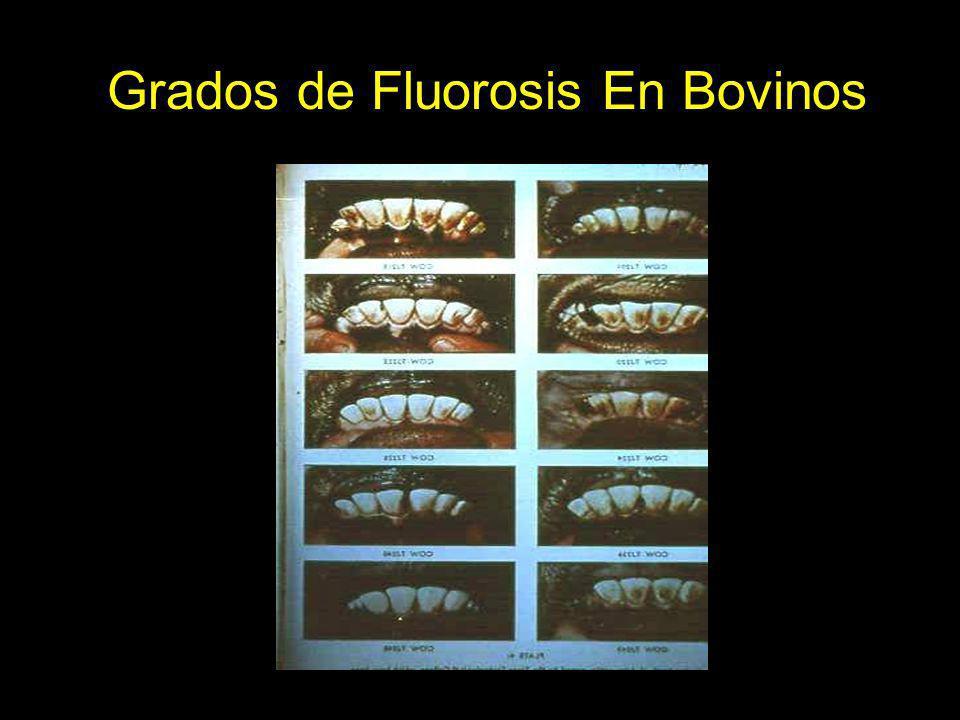 Grados de Fluorosis En Bovinos