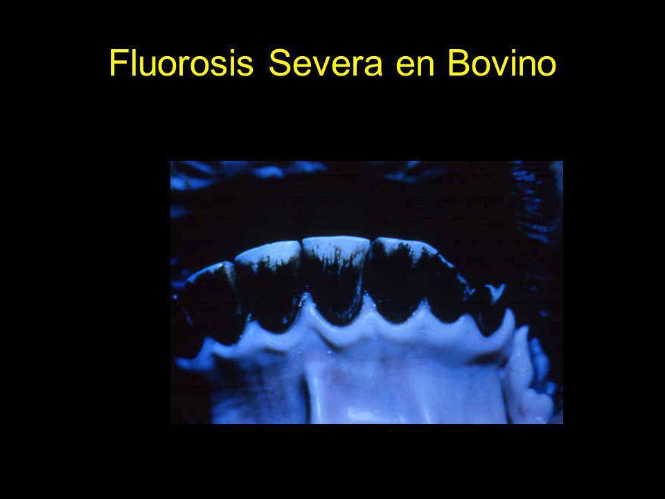 Fluorosis Severa en Bovino