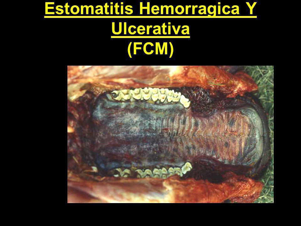 Estomatitis Hemorragica Y Ulcerativa (FCM)