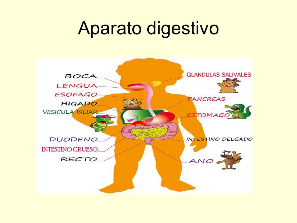 El aparato digestivo está CONSTITUIDO POR: Tubo digestivo, que se divide en : donde se produce la primera transformación de los alimentos, en ella encontramos: Dientes, que se encargan de cortar y triturar los alimentos.