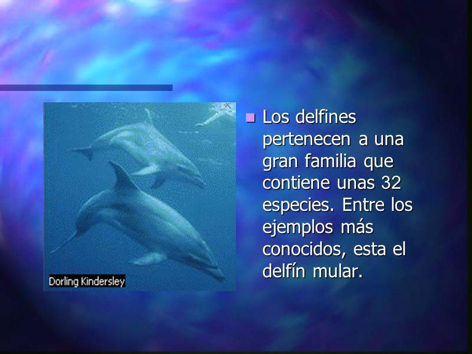 Este sistema de ecolocación, similar al de los murciélagos, permite a los delfines navegar y detectar a sus presas con suma facilidad.
