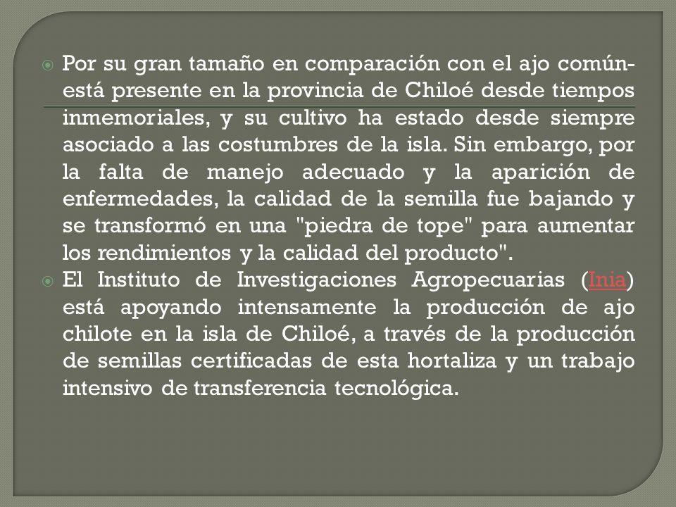 Por su gran tamaño en comparación con el ajo común- está presente en la provincia de Chiloé desde tiempos inmemoriales, y su cultivo ha estado desde siempre asociado a las costumbres de la isla.