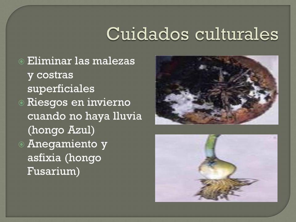Eliminar las malezas y costras superficiales Riesgos en invierno cuando no haya lluvia (hongo Azul) Anegamiento y asfixia (hongo Fusarium)