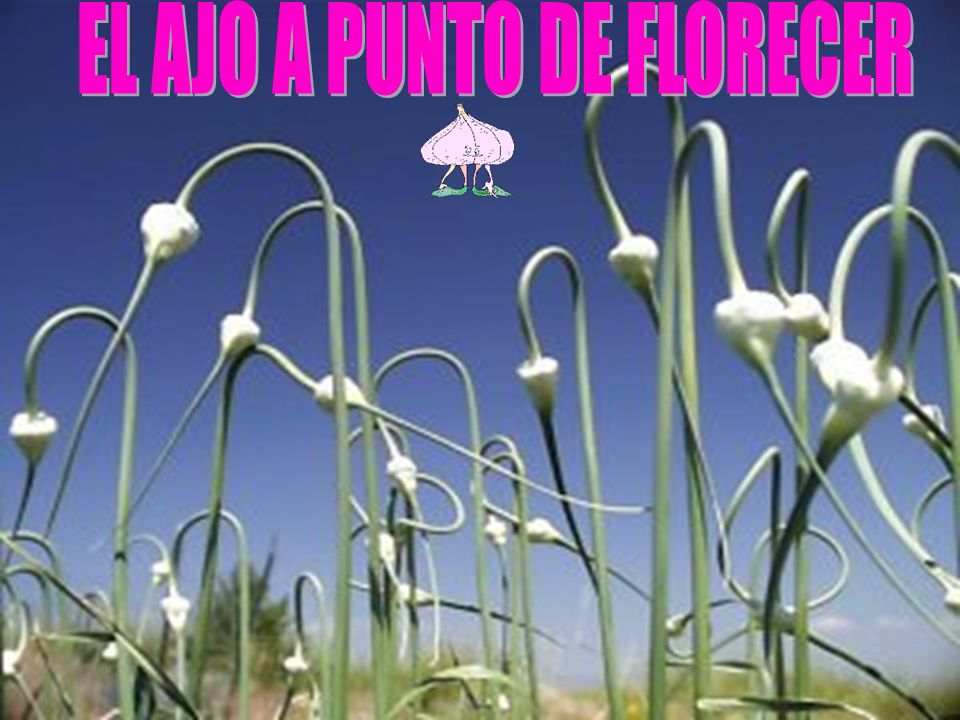 Noviembre Diciembre(18ºc-20ºc) Marzo Abril(18ºc- 25ºc) Bulbos al sol Bulbos de pie Trenzar
