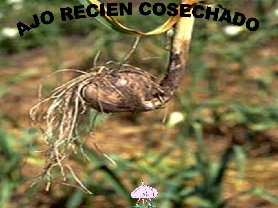 Los principales clones plantados a nivel nacional corresponden en su gran mayoría a los tipo rosado, caracterizado por la variedad Valenciano Rosado ó Rosado Chileno y el clon Rosado INIA, que ocupan más del 80% de la superficie plantada a nivel nacional.