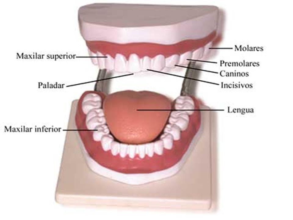Los dientes tienen formas y funciones diferentes. Los incisivos, situados en el centro, son planos y cortan los alimentos; los caninos, los desgarran