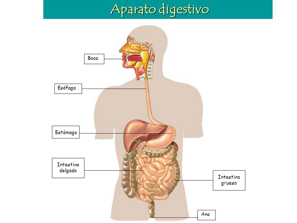 La alimentación La dieta es el conjunto de alimentos que toma habitualmente una persona. Una dieta sana debe ser: - Completa: - Equilibrada: es decir,