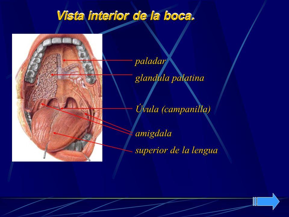 Vista interior de la boca. amigdala superior de la lengua Úvula (campanilla) paladar glandula palatina
