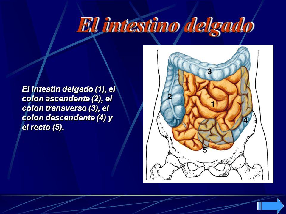 El intestin delgado (1), el colon ascendente (2), el colon transverso (3), el colon descendente (4) y el recto (5). El intestino delgado