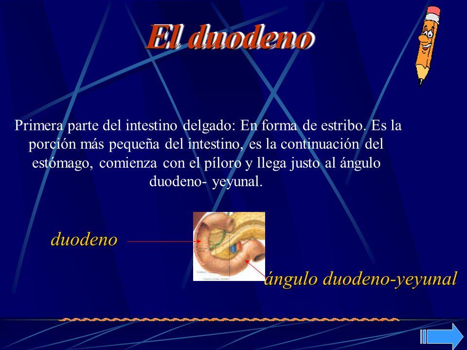 Primera parte del intestino delgado: En forma de estribo. Es la porción más pequeña del intestino, es la continuación del estómago, comienza con el pí