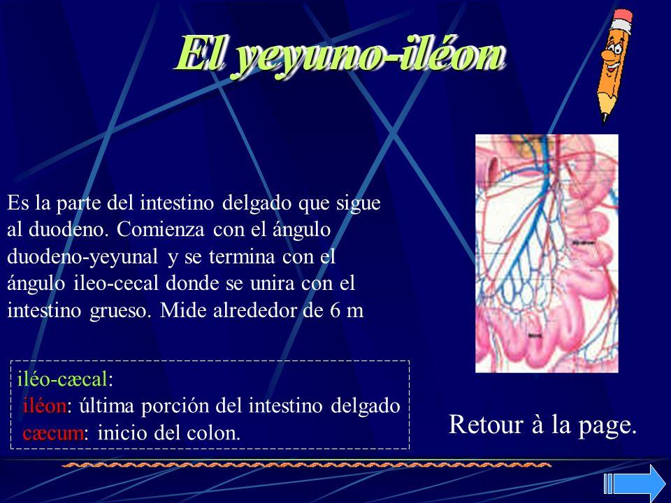 Es la parte del intestino delgado que sigue al duodeno. Comienza con el ángulo duodeno-yeyunal y se termina con el ángulo ileo-cecal donde se unira co