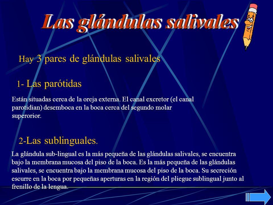 Hay 3 pares de glándulas salivales 1- Las parótidas 2- Las sublinguales. Están situadas cerca de la oreja externa. El canal excretor (el canal parotid