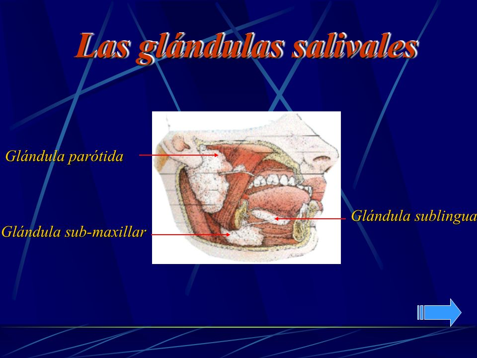 Glándula parótida Glándula sublingual Glándula sub-maxillar