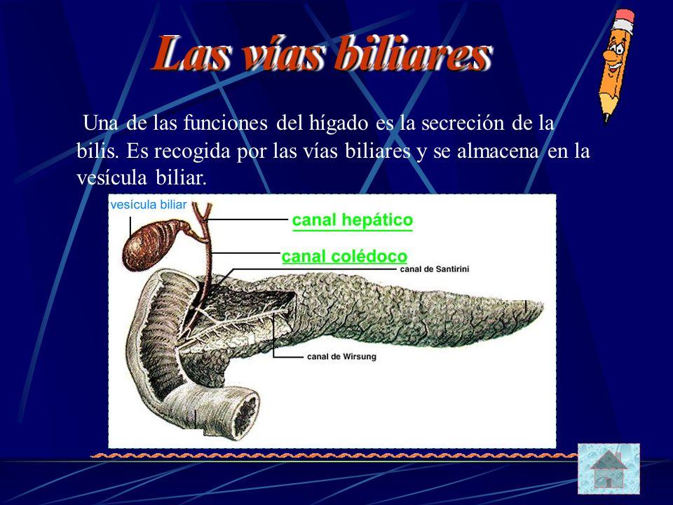 Una de las funciones del hígado es la secreción de la bilis. Es recogida por las vías biliares y se almacena en la vesícula biliar. Las vías biliares