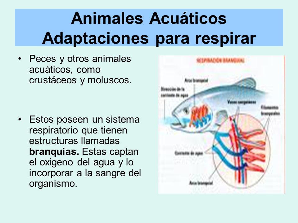 Animales Acuáticos Adaptaciones para respirar Peces y otros animales acuáticos, como crustáceos y moluscos. Estos poseen un sistema respiratorio que t