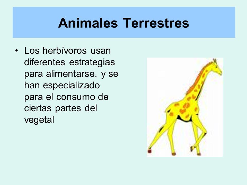 Animales Terrestres Los herbívoros usan diferentes estrategias para alimentarse, y se han especializado para el consumo de ciertas partes del vegetal