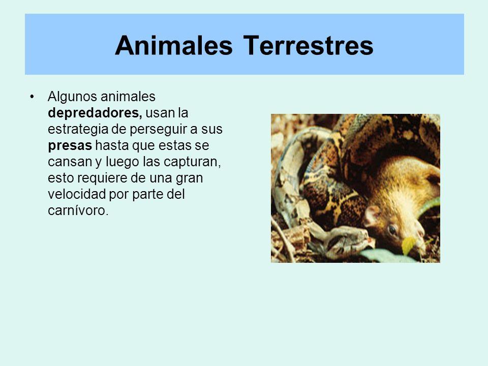 Algunos animales depredadores, usan la estrategia de perseguir a sus presas hasta que estas se cansan y luego las capturan, esto requiere de una gran
