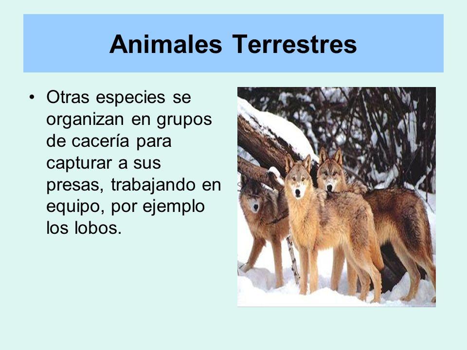 Otras especies se organizan en grupos de cacería para capturar a sus presas, trabajando en equipo, por ejemplo los lobos. Animales Terrestres