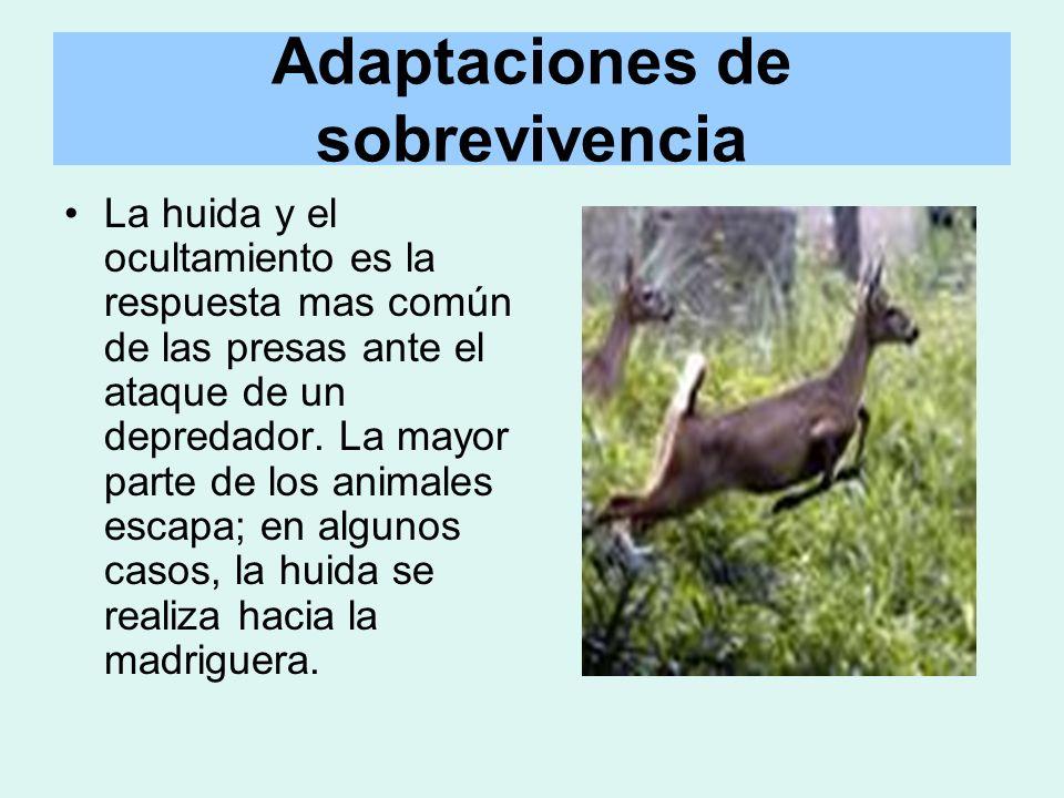 Adaptaciones de sobrevivencia La huida y el ocultamiento es la respuesta mas común de las presas ante el ataque de un depredador. La mayor parte de lo