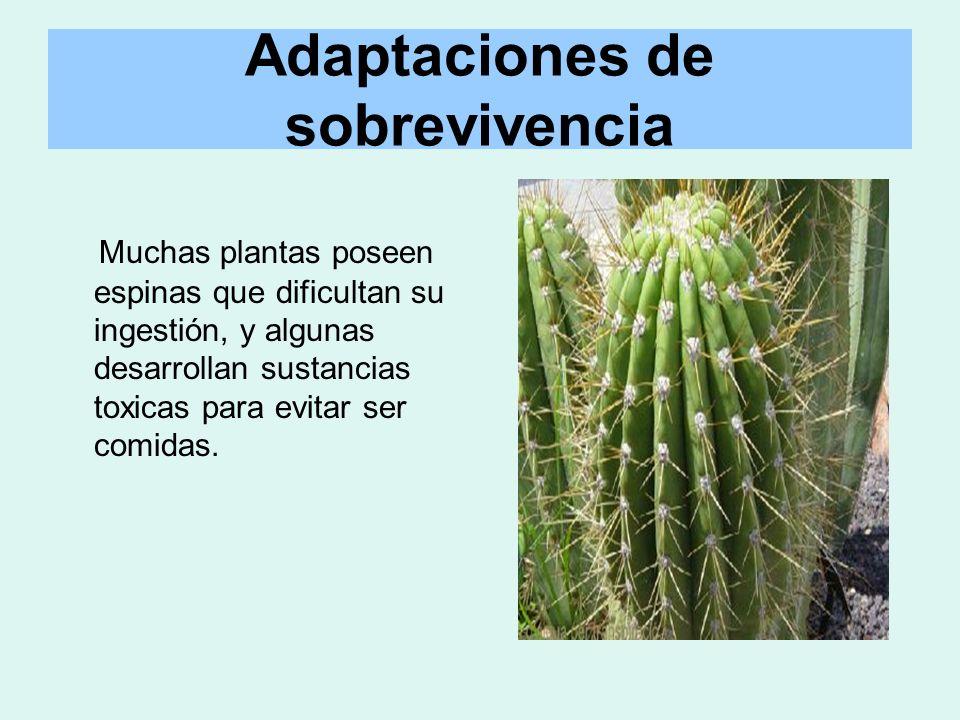 Adaptaciones de sobrevivencia Muchas plantas poseen espinas que dificultan su ingestión, y algunas desarrollan sustancias toxicas para evitar ser comi