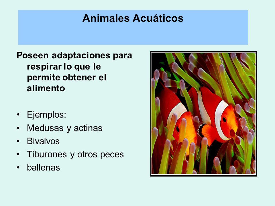 Poseen adaptaciones para respirar lo que le permite obtener el alimento Ejemplos: Medusas y actinas Bivalvos Tiburones y otros peces ballenas Animales