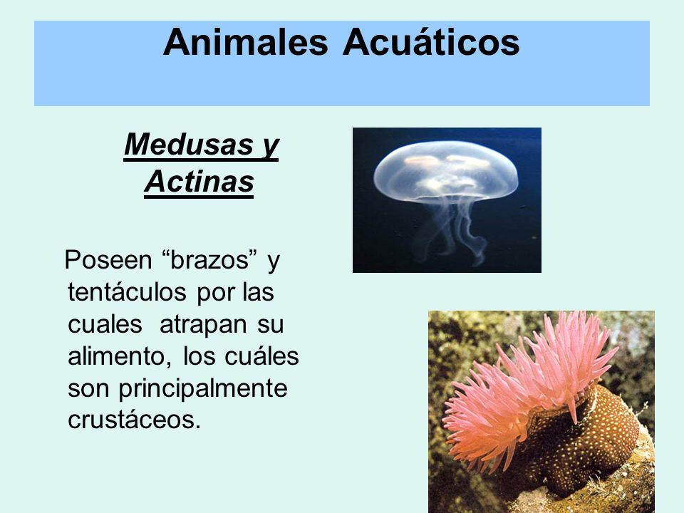 Medusas y Actinas Poseen brazos y tentáculos por las cuales atrapan su alimento, los cuáles son principalmente crustáceos.