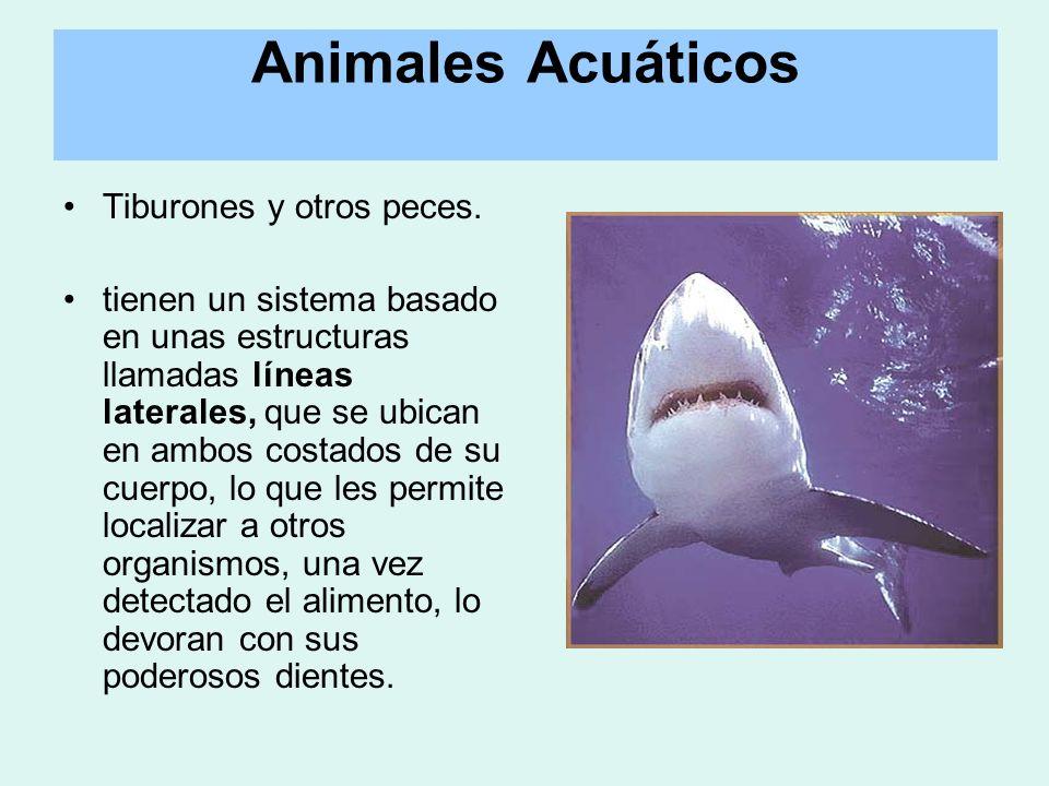 Tiburones y otros peces. tienen un sistema basado en unas estructuras llamadas líneas laterales, que se ubican en ambos costados de su cuerpo, lo que
