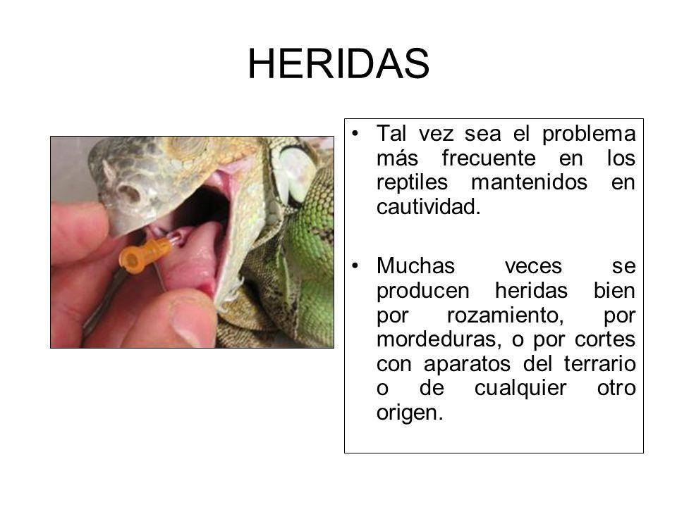 Normalmente los reptiles evolucionan bien cuando son tratados y solo suele haber complicaciones cuando se produce obstrucción intestinal.