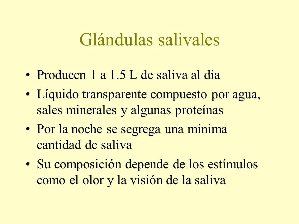 Producen 1 a 1.5 L de saliva al día Líquido transparente compuesto por agua, sales minerales y algunas proteínas Por la noche se segrega una mínima ca