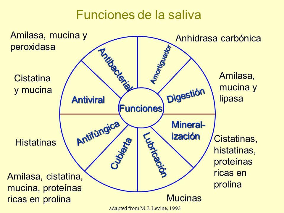 Funciones Antibacterial Amortiguador Digestión Mineral-ización Lubricación Cubierta Antifúngica Antiviral Anhidrasa carbónica Amilasa, mucina y lipasa