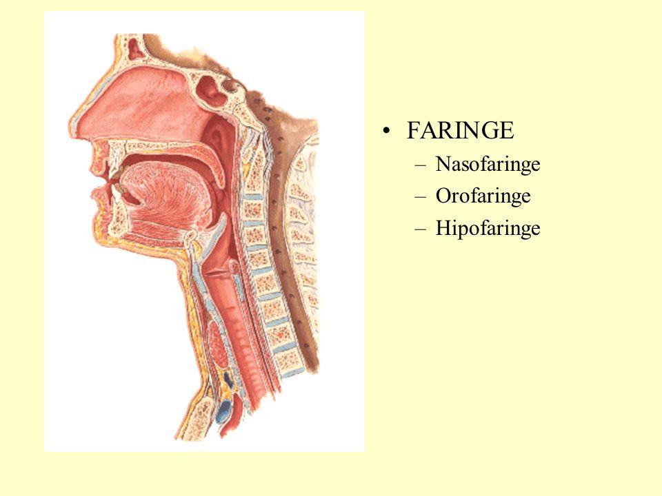 FARINGE –Nasofaringe –Orofaringe –Hipofaringe