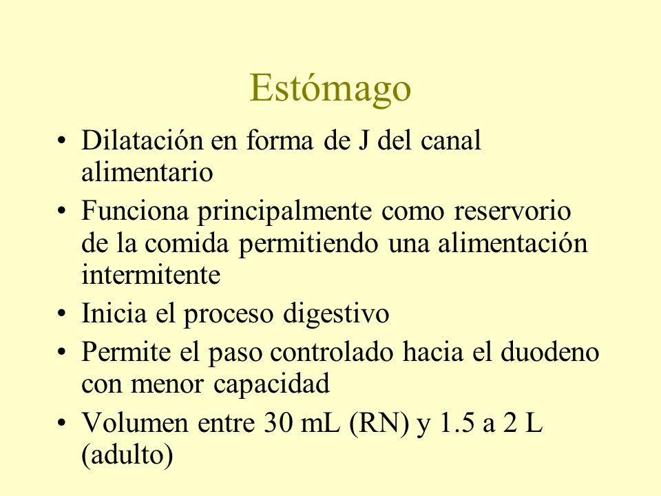 Estómago Dilatación en forma de J del canal alimentario Funciona principalmente como reservorio de la comida permitiendo una alimentación intermitente