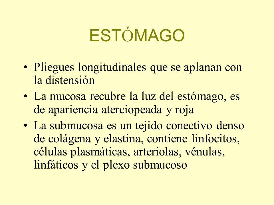 EST Ó MAGO Pliegues longitudinales que se aplanan con la distensión La mucosa recubre la luz del estómago, es de apariencia aterciopeada y roja La sub