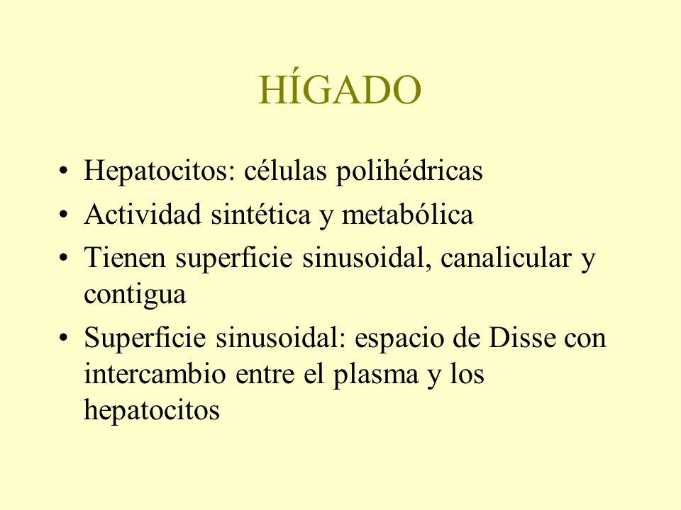 HÍGADO Hepatocitos: células polihédricas Actividad sintética y metabólica Tienen superficie sinusoidal, canalicular y contigua Superficie sinusoidal:
