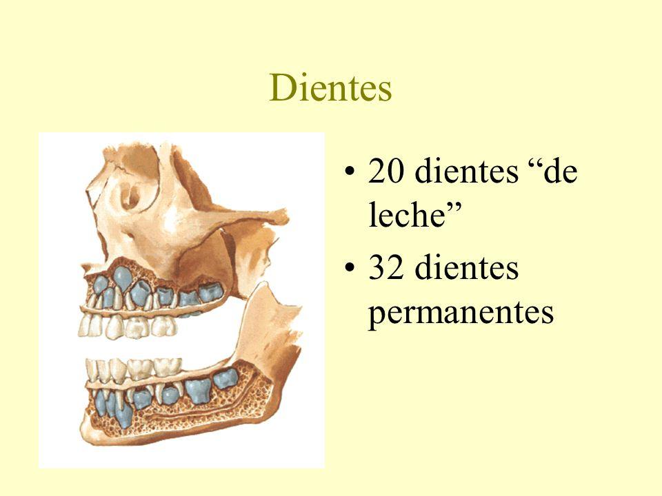 Dientes 20 dientes de leche 32 dientes permanentes