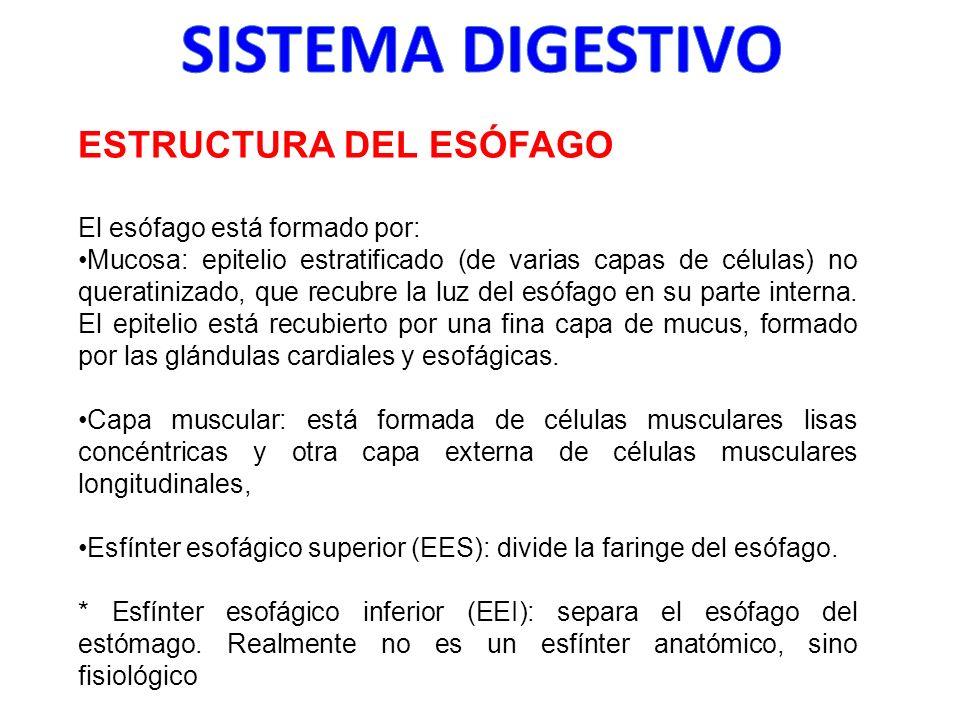 ESTRUCTURA DEL ESÓFAGO El esófago está formado por: Mucosa: epitelio estratificado (de varias capas de células) no queratinizado, que recubre la luz d