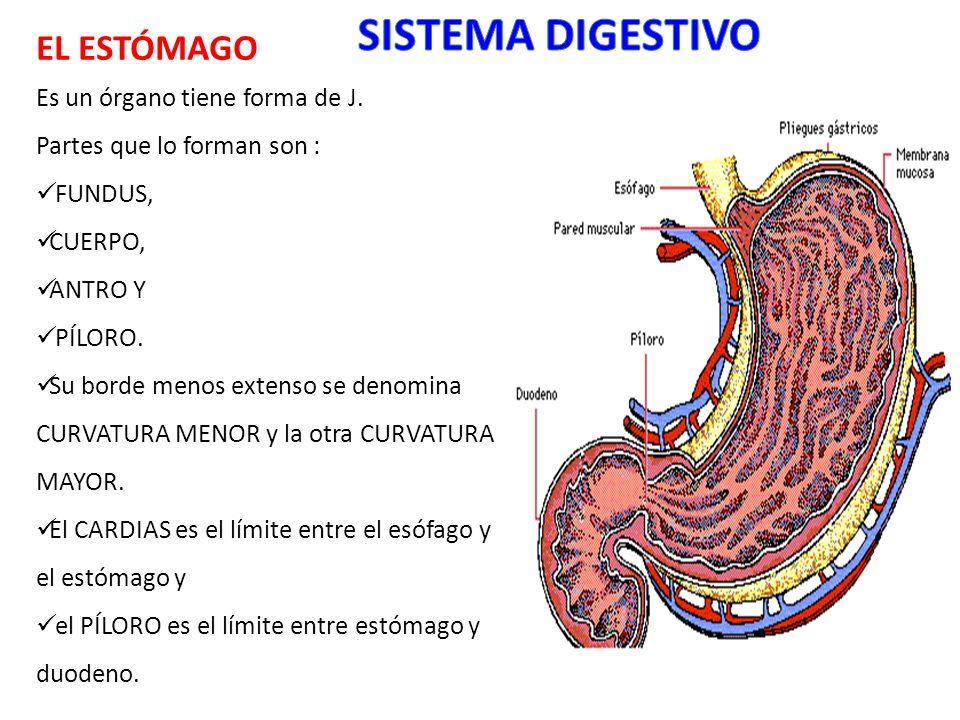 EL ESTÓMAGO Es un órgano tiene forma de J. Partes que lo forman son : FUNDUS, CUERPO, ANTRO Y PÍLORO. Su borde menos extenso se denomina CURVATURA MEN