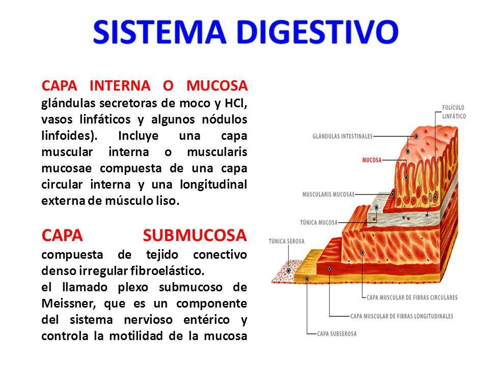 CAPA INTERNA O MUCOSA glándulas secretoras de moco y HCl, vasos linfáticos y algunos nódulos linfoides). Incluye una capa muscular interna o musculari