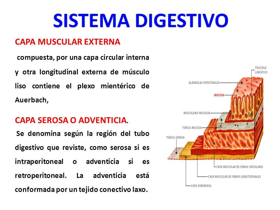 CAPA MUSCULAR EXTERNA compuesta, por una capa circular interna y otra longitudinal externa de músculo liso contiene el plexo mientérico de Auerbach, C