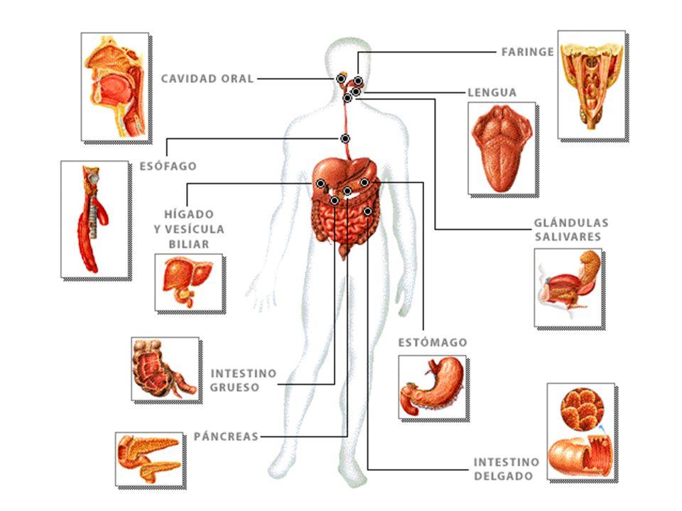 HÍGADO Es uno de los órganos más voluminosos.