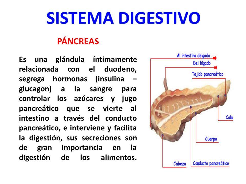 PÁNCREAS Es una glándula íntimamente relacionada con el duodeno, segrega hormonas (insulina – glucagon) a la sangre para controlar los azúcares y jugo