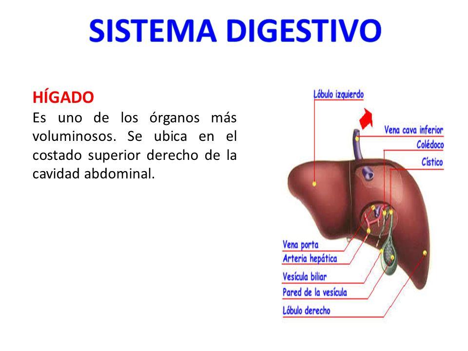 HÍGADO Es uno de los órganos más voluminosos. Se ubica en el costado superior derecho de la cavidad abdominal.